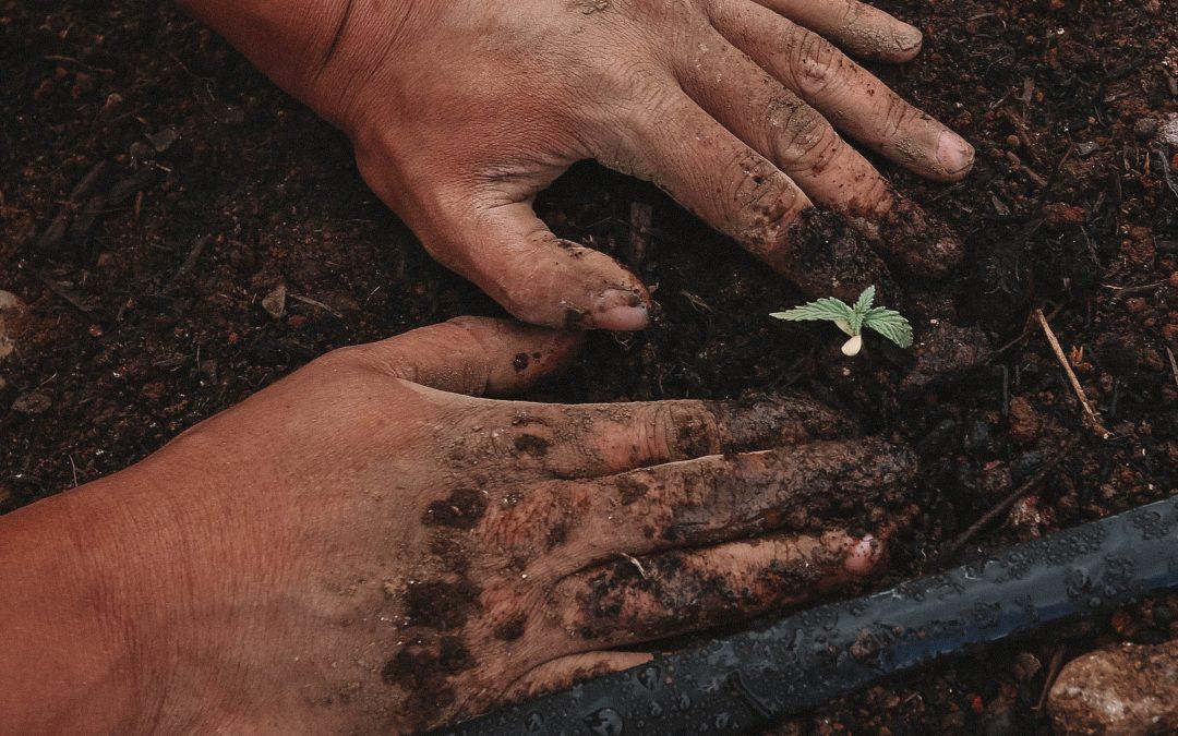 ¿Se puede cultivar cannabis en España? ¿Cómo cultivar cáñamo?